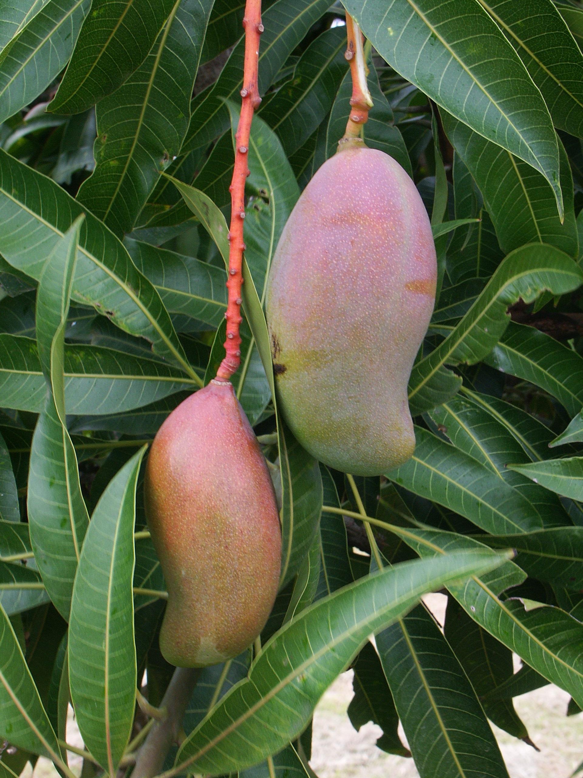 pas cher comment chercher profiter du prix le plus bas Mango Nursery, Orchards and Gardens, New Caledonia ...